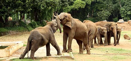 Elephants-playing-in-Mysore-Zoo